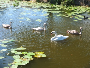 And some teenage swans with their mom.